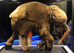 Lyuba the mummified baby mammoth (Ruth and Dave) Tags: lyuba mummy mummified woollymammoth mammoth baby preserved iceage pachyderm royalbcmuseum victoria exhibit museum naturalhistory