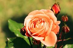 Maig_1340 (Joanbrebo) Tags: 16èconcursinternacionalderosesnovesdebarcelona canoneos70d efs18135mmf3556is eosd autofocus park parque parc parccervantes barcelona blumen blossom garden jardí jardín flores flors flowers fiori fleur doublefantasy