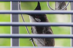 curious fellow (arcibald) Tags: pycnonotusjocosus redwhiskeredbulbul bulbul bird birds aves vientiane laos laopdr window