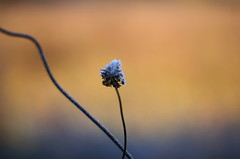 hot and cold (SS) Tags: ss pentax k5 autumn lazio italy countryside frost smcpentaxm50mmf17 fall colors depthoffield dof plant 2015 morningwalk outdoor hot cold abstract