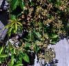 grape woodbine in bloom (ophis) Tags: vitaceae parthenocissus parthenocissusinserta grapewoodbine