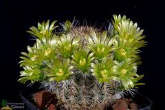 Echinocereus chloranthus (clement_peiffer) Tags: d7100 105mm nikon cactus fleurs flower cactaceae succulent echinocereus chloranthus flowerscolors
