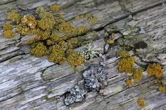 Pincushion Sunburst Lichen