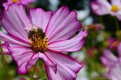 Cosmos Flower (Sandra Kirly Pictures) Tags: budapest hungary botanicalgarden ogrdbotaniczny cosmosflower cosmos flower outdoor plant