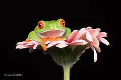 Red Eye Tree Frog D75_2925.jpg (Mobile Lynn) Tags: amphibian frog nature redeyetreefrog captive agalychniscallidryas fauna wildlife bournemouth england unitedkingdom gb coth specanimal greatphotographer coth5 ngc sunrays5 npc captivelight