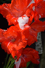 Red Gladioli Flowers ! (Mara 1) Tags: red white flowers petals summer garden plant outdoors