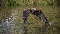 Red Kite (Si Moore.) Tags: redkite milvusmilvus birdofprey hunter carrion birdsinflight bwlchnantyrarian nrw ceredigion wales birds fuji xseries xt2 xf100400mm 14x teleconverter simoore 2016