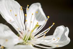 White blossom , #wanderlust , #flower , #spring , #perspective , #stamen , #Exposure , #Petals , #contrast , #Photography , #Nature , #bloom , #ecology , #color , #Light , #composition , #Pollen , #Photographer , #blossom , #Closeup , #macro , #upclose , (jwzw@ymail.com) Tags: white blossom wanderlust flower spring perspective stamen exposure petals contrast photography nature bloom ecology color light composition pollen photographer closeup macro upclose tree mothernature delicate flora beautiful splendid bokeh photoart vibrant