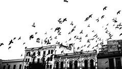 Freedom (christianpantoja26) Tags: birds liberty freedom lima peru street photography blackandwhite arquitecture vintage air art