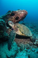 Green Sea Turtle taking a break (Graham Gibson) Tags: sony rx100 m2 ii acquapazza underwater housing scuba diving seasea ys01 strobe hawaii honu