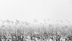 Game of hide-and-seek of Pintail. (K16mix) Tags: japan izunuma miyagi kurihara pintail wildlife wildbird nature animal lake haze mist morning blackandwhite blackwhite monochrome water lotus flock eaafp ramsarconvention