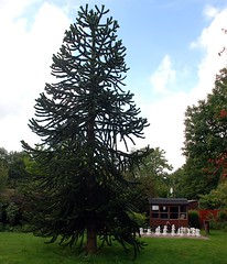 Monkey Puzzle Tree  and Chess set (6) (John Carson Essex) Tags: thegalaxy thegalaxystars rainbowofnature supersix