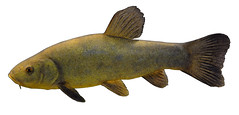 Tench (NYS Department of Environmental Conservation) Tags: nysdec nysdepartmentofenvironmentalconservation inland fish freshwater
