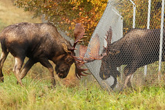 Awesome Power Of These Testosterone Driven Beasts - Two Bull Moose fighting! (AlaskaFreezeFrame) Tags: moose bull bullmoose canon alaska alaskafreezeframe anchorage nature outdoors wildlife mammals herbivore antlers animals fall trees plants rut dangerous velvet telephoto testosterone fence fighting angry autumn diamondwire strong 70200mm