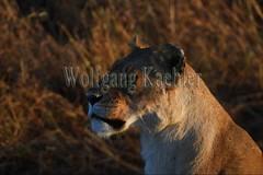 10077926 (wolfgangkaehler) Tags: 2016africa african eastafrica eastafrican kenya kenyan masaimara masaimarakenya masaimaranationalreserve wildlife mammal bigcat predator predatory bigfive lionpantheraleo lioness femaleanimal lionesses closeup