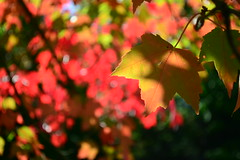 (ktLaurel) Tags: fall autumn trees maples colours red orange leaves feuilles october octobre sunshine