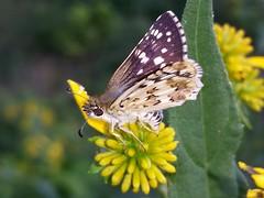 Common Checkered-skipper (rstickney37) Tags: hesperiidae skipper verbesina crownbeard pyrgus pyrguscommunis checkeredskipper commoncheckeredskipper