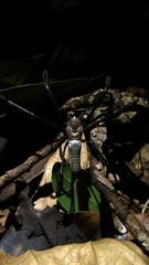 Araneae: Nephilidae (Adam Carvalho) Tags: adam net rio de gold golden spider rj janeiro n cable dourado da floresta seda fios mata ouro carvalho arachnida tijuca aranha teia lao araneae atlntica nephila dourada clavipes nephilidae nephilinae araneaenephilidaearanhadateiadouradanephilaclavipeslinnaeus1767