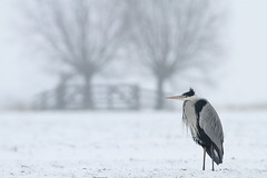 Dutch winter (Pepijn Hof) Tags: winter white snow cold holland bird animal canon landscape grey nederland natuur ardea 7d polder wit vogel grijs koud zuidholland sneew greyheron cinerea 300mmf4 blauwereiger haastrecht vlist southholland