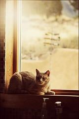 (K. Sawyer Photography) Tags: window kitchen cat tabby sunglow