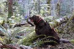 At home in the woods (kati.holt) Tags: dog leaves oregon happy moss woods ferns
