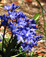 Chionodoxa forbesii (Glory of the Snow) (De Justice) Tags: spring blueflower springflower chionodoxaforbesii gloryofthesnow starshapedflower