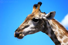 Giraffe Close-up (Nuwan Gomis) Tags: africa botswana kasane southernafrica africansafari animalportraits 2013 chobenp thewildlife canonefs55250is natureandphotography canoneos550d