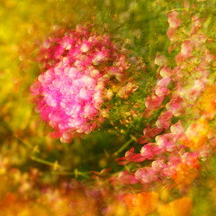 15/52: Transmute. (CodySLR) Tags: california flowers abstract digital canon photography losangeles colorful photographer artistic doubleexposure creative surreal multipleexposure professional rotation incamera mark3 codysmith canon5dmkiii codyslr codyslrcom aflowerstudy unefleuretudier