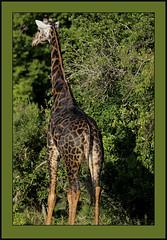 Melanistic giraffe. (Rainbirder) Tags: kenya giraffe giraffacamelopardalistippelskirchi giraffacamelopardalis masaigiraffe tsavowest rainbirder melanisticgiraffe