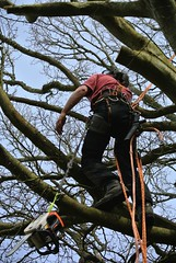 Tree Climber (Livesurfcams) Tags: chainsaw woodcutter arborist stihl copperbeach treesurgeon stilh nikonv1