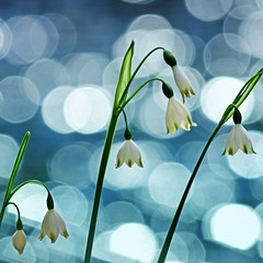 White bells on a pond (tanakawho) Tags: light plant flower nature water sunshine spring pond dof bokeh squareformat snowwhite tanakawho