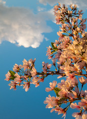 Reach the Sky in Pink (Warriorwriter) Tags: pink flowers blue trees alexandria festival canon cherry photography japanese virginia washingtondc spring day unitedstates cloudy vibrant blossoms tourists clear bloom sakura buds tidalbasin s100