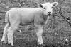 Spring Lamb (redfibres) Tags: bw wool canon eos blackwhite spring sheep derbyshire lamb hardwickhall 103365 threesixtyfive efs55250mmf456is 1000d