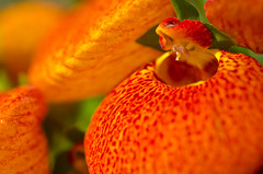 Orange Pocketbook (LabradorEars) Tags: orange flower macro washington spokane tamron90mm calceolaria gaiserconservatory calceolariaherbeohybrida pocketbookplant
