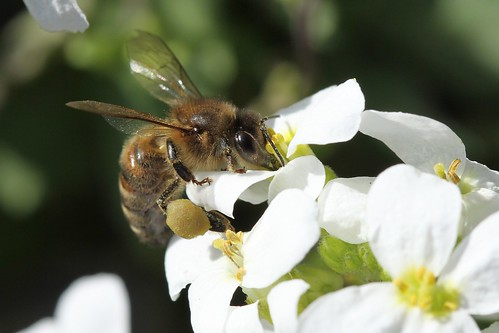Bee by Glassholic, on Flickr