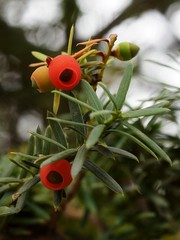 Fruiting Japanese Yew (3 photos) (Tatters:)) Tags: macro museum berries minolta russia taxus redfruit conifer sakhalin fruiting taxaceae aril taxuscuspidata