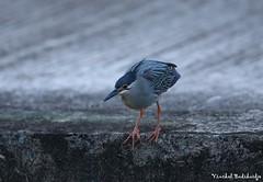 Striated Heron (Vinchel) Tags: heron canon is singapore ii usm ef 400mm f28l 1dx