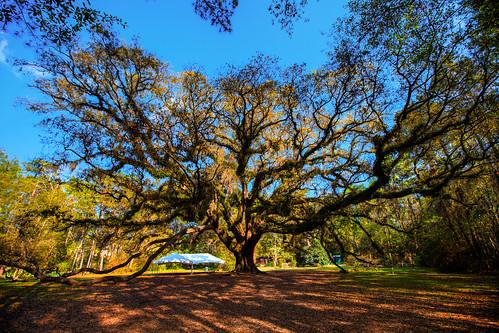 red tree oak florida fl tallahassee lichgate