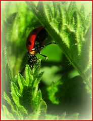 le passage (Nathalie Chatelain.....peu disponible ) Tags: macro nature suisse printemps coccinelle ortie