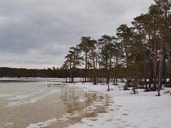 Suur Suujrv (Axiraa) Tags: winter lake snow tree ice water pine spring melting estonia marsh bog wetland estland viro estonie  meenikunno  suursuujrv