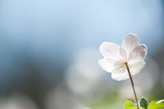 The unbearable lightness (Monique vd Hoeven) Tags: light macro backlight spring belgie ardennen anemone bloemen voorjaar thierache bosanemoon macrodreams regniessart
