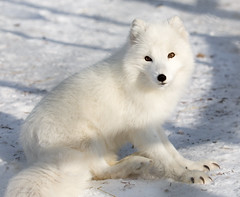 I might look cute, but my claws tells a different story.... (CecilieSonstebyPhotography) Tags: portrait white norway canon fur nose paw eyes ngc arctic claw fox endangered paws claws langedrag arcticfox alopexlagopus polarfox whitefox snowfox ef100400mmf4556lisusm