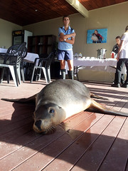 All tuckered out (Roving I) Tags: animals vertical wildlife australia trainers nsw newsouthwales resting coffsharbour keepers furseals breakfasts coffscoast dolphinmarinemagic