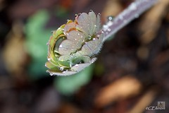 Regentropfen  / raindrops (Ellenore56) Tags: light inspiration color colour detail macro reflection nature water leaves rain garden botanical licht photo leaf flora focus waterdrop wasser foto rainyday magic natur perspective drop explore aquilegia april raindrops vista droplet imagination outlook columbine moment nano makro blatt magical farbe reflexion garten rainfall regen raindrop perspektive reflektion wassertropfen tropfen regentag augenblick fokus rainday waterdroplet botanik akelei regentropfen trpfchen faszination intherain rolloff explored pflanzenwelt sonya350 abperlen ellenore56 abperleffekt acoleia ackeleia agleia akuleye columbadove dripoffeffect 27042013