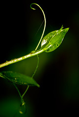 Cupid's bow (Genevievery) Tags: plant green love nature water leaves rain forest droplets leaf vines drop eros bow arrow cupid mythology twirly