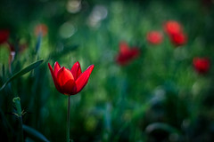 SMC Takumar 50mm f1.4 (Sorin Mutu) Tags: park city flowers red flower green nature grass closeup canon garden lens 50mm prime spring tulips takumar bokeh f14 jardin natura romania tulip m42 manual smc legacy parc bucharest bucuresti roumanie bucarest lalele 500d lalea