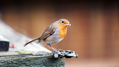 European Robin (DanielCraigPhotographic.) Tags: uk england bird nature robin birds photography spring europe wildlife feather british animalplanet rspb digitalcameraclub nbw