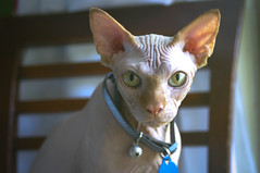 jean-luc (thedianna) Tags: green cat eyes hairless jeanluc peterbald