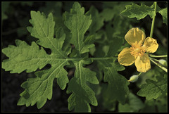 Celadine Poppy (ioensis) Tags: saint st garden louis spring native mo missouri poppy april wildflower webster groves celadine jdl 2013 ioensis