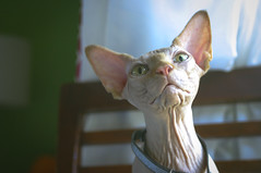 118/365 (thedianna) Tags: green cat eyes hairless jeanluc peterbald